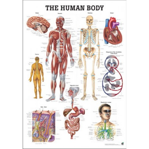 The Human Body Poster 70x100cm Laminated