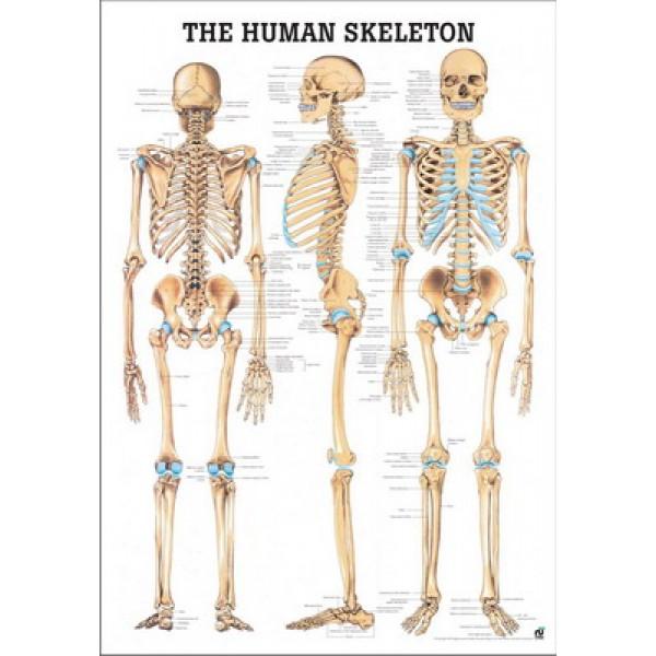 The Human Skeleton Poster 70x100cm Laminated