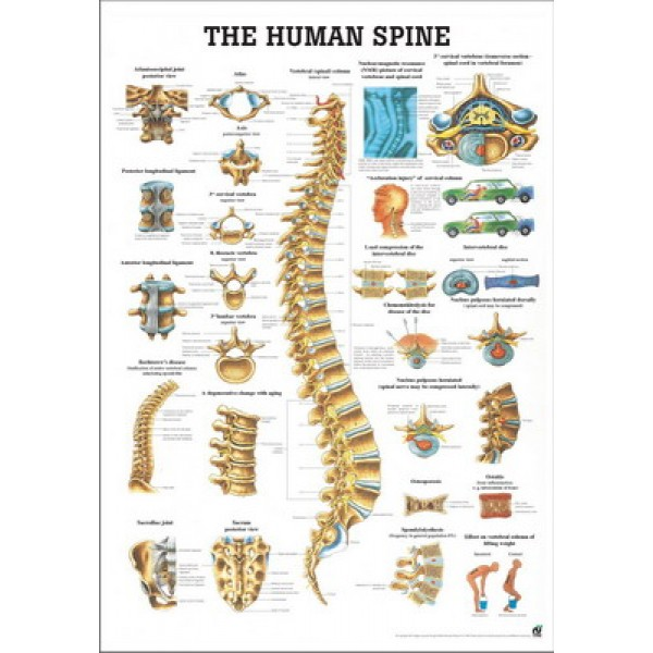 The Human Spine Poster 70x100cm Laminated